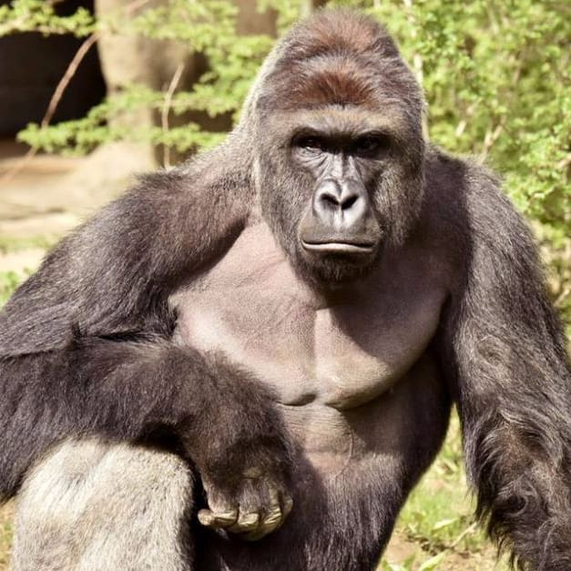 Remembering Harambe: A Tale of People Getting Tribute Tattoos