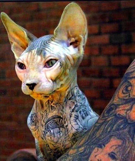 Tattooed hairless cat