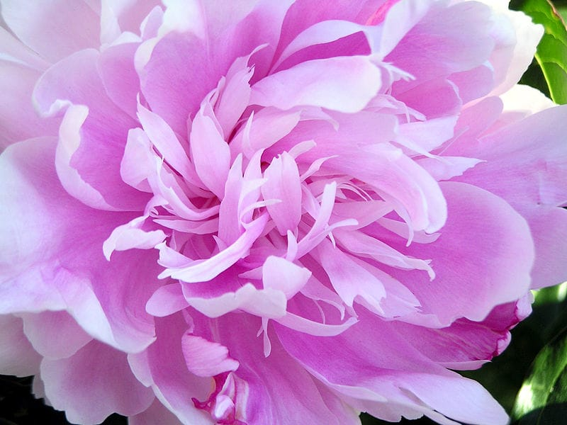Peony image from Wikipedia. Copyright: Public Domain.